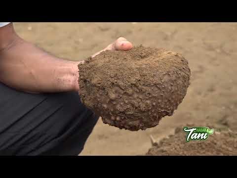 Habar Tani  - Budidaya Tanaman Porang Tumpang Sari Organik