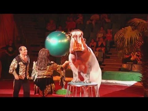 Hippos perform strange tricks at circus show