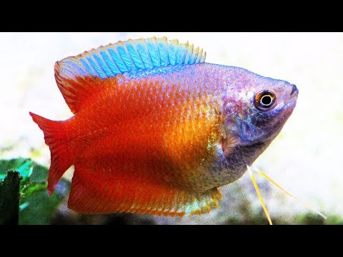 Top 10 Facts And Care Guide For Gourami Fishes