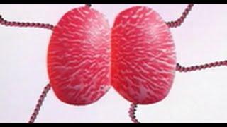 Cultura, isolamento e identificação da Neisseria gonorrhoeae
