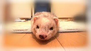 50 second Staring Contest with Ferret. -- いたちラボ関連URL http://...
