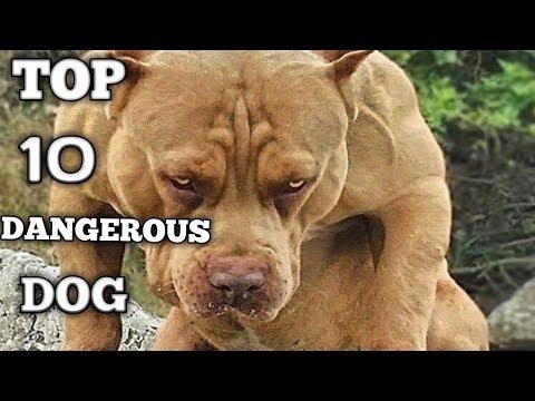 TOP 10 DANGEROUS DOG BREEDS IN HINDI /German shepherd, pitbull,malamute, rottweiler, boxer, bulldog