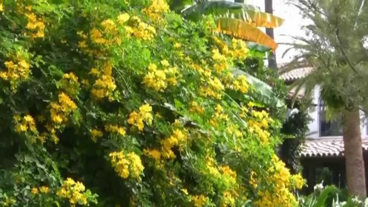 Yellow Cia Tree Fall Flowering Flower Cers
