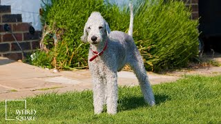 The Bedlington Terrier is a breed of terrier named after the mining town of Bedlington.