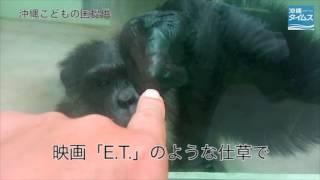 沖縄こどもの国で人差し指を付き合わせ、人間と心を通わせるチンパンジ...