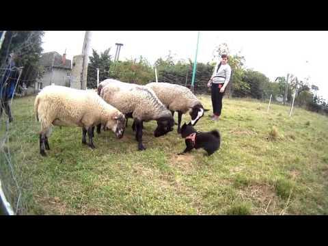 AGATA Nubika (Schipperke) - sheep herding