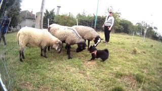 AGATA Nubika (Schipperke)  sheep herding