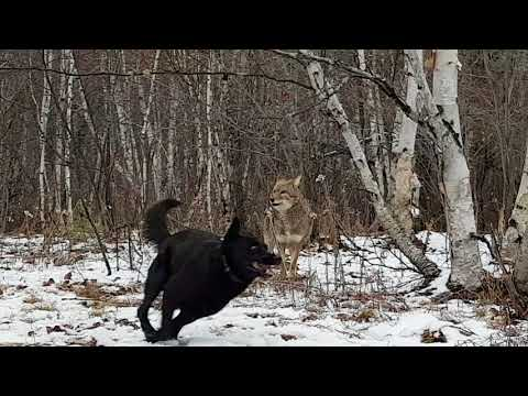 Wild Coyote best friends with Rocky the dog .3 years they are together.