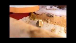 9月13日(土)セキセイインコのピーちゃんがまた自分のじゃない卵を温め...
