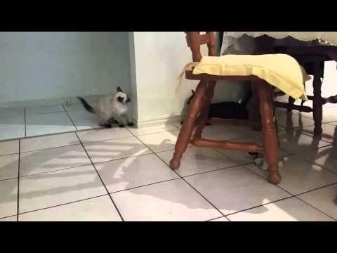 Funny cat - bengal vs ragdoll kitten