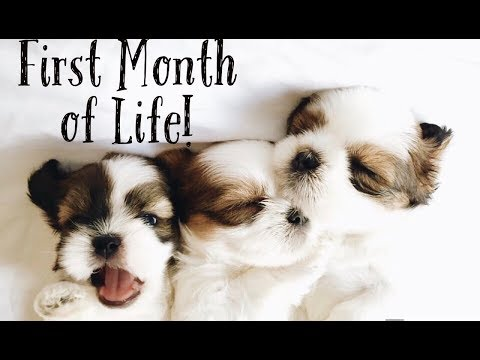 Shihtzu puppies- First Month of Life! | Fluffy Shih Tzu Family