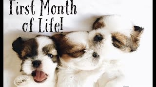 Shihtzu puppies- First Month of Life