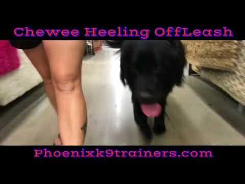 2yo Newfoundland Chewee~ OffLeash Heel~ Best Large Breed K9 Training AZ