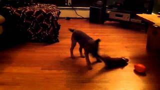 Border Terrier Shakes His Fox Toy