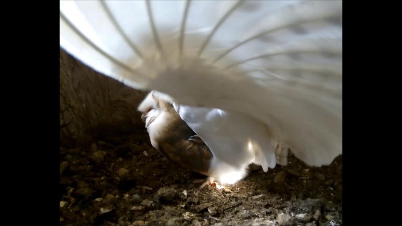Barn Owl Nest Camera 2019 | Mar 20 | Barn Owls Begin ...