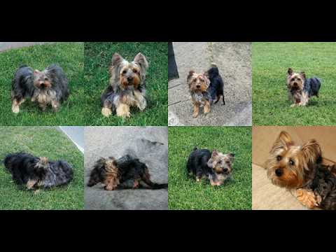 Generating Silky Terrier, Sydney Silky with Deep Learning