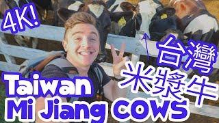 台灣米漿牛 Taiwan Mi Jiang Cows (4K) He Jia Farms 禾家牧場  - Life in Taiwan #87