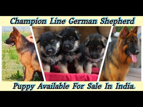 german-shepherd-puppy-for-sale-|-champion-line-german-shepard-puppy-|-dogs-price-list