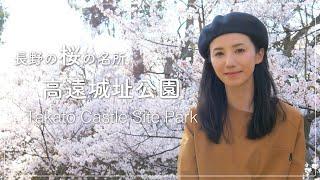 【桜の名所】伊那市高遠城址公園の桜-Takato Castle Site Park-