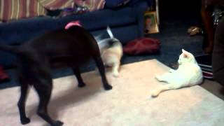 Dogs fighting over milk jug