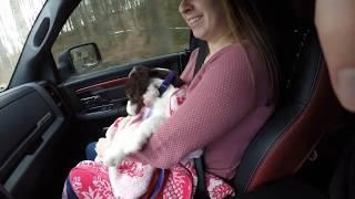 Bringing home our english springer spaniel Maggie!