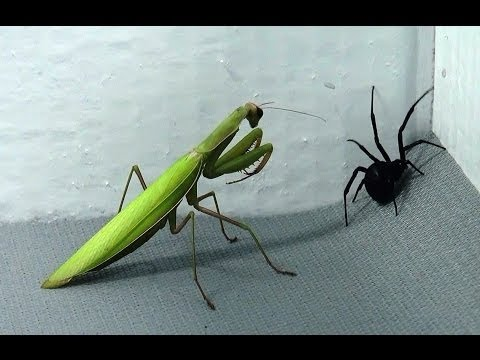 download Black Widow vs Praying Mantis Spiders infest my house