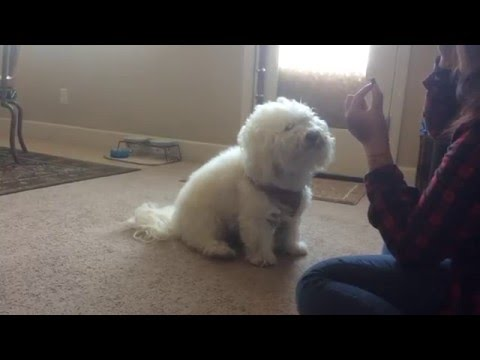 Bichon Frise Does Math! Smartest Dog Ever