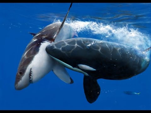 Killer Whale Attack ( Documentary ) - YouTube