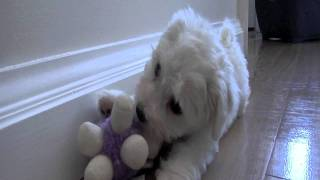 Bichon Frise Puppy Playing First Week Home...playing With His Dog Brother
