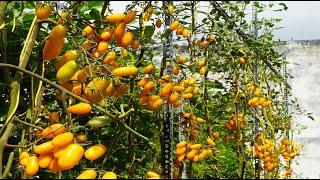 Ngọt,ăn sống:Trồng Cà Chua trái cây siêu ngọt | Sweet,eaten fresh:Growing super sweet fruit tomatoes