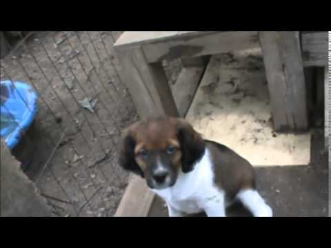 French Brittany Puppies, 8 Weeks Old