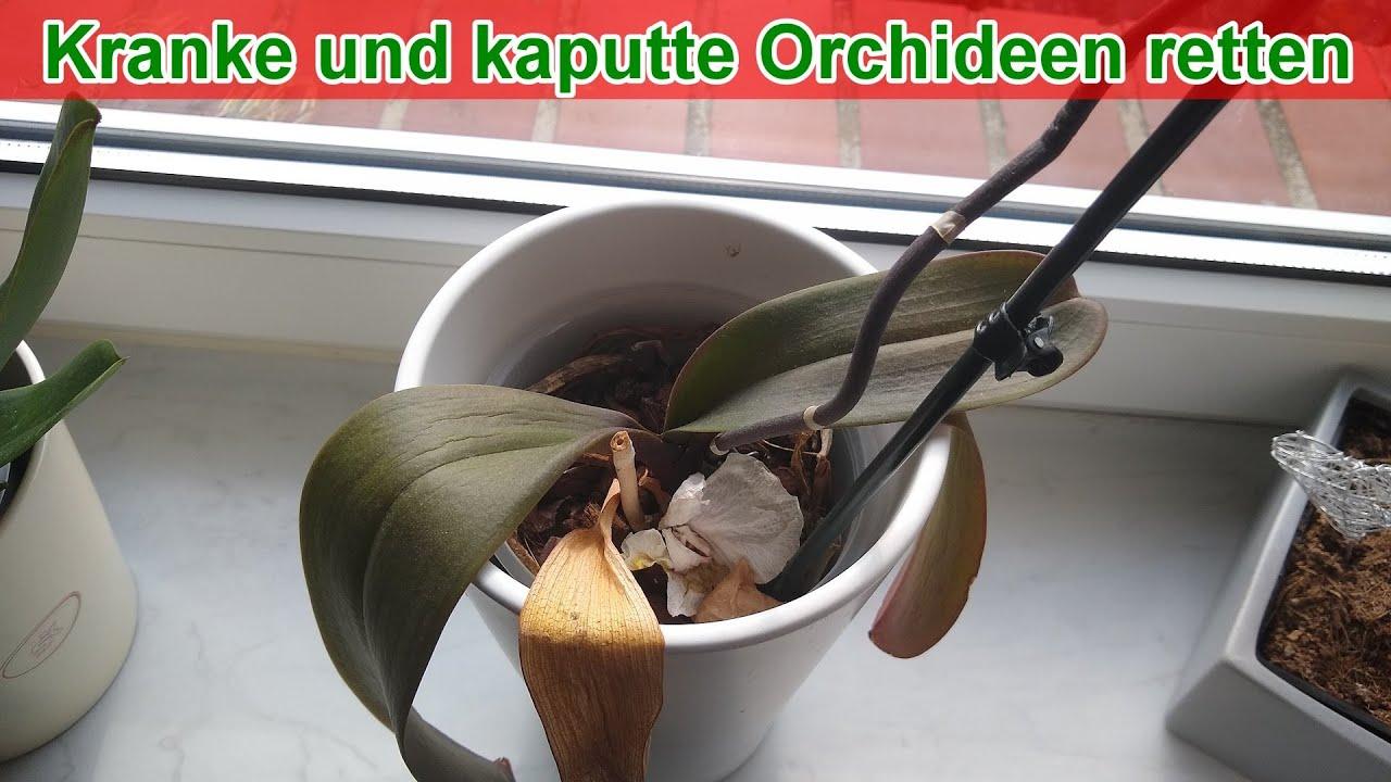 Kranke Und Kaputte Orchideen Retten Anleitung Blätter Sind Welk