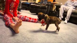 Boxer Puppy Christmas Surprise
