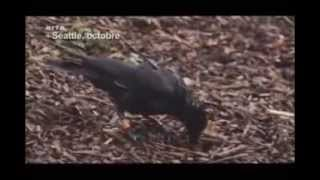 Documentaire  Les Corbeaux ont ils une Cervelle D'oiseau?