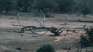 Lost hippo runs into male lions