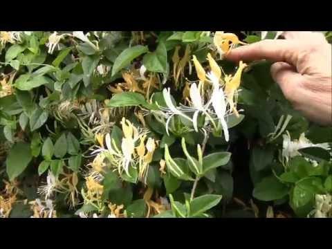 Вопрос: Почему опадают цветы на жимолости?
