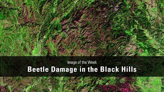Beetle Damage in the Black Hills