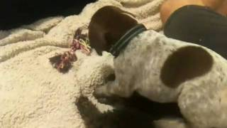 German Shorthaired Pointer Vs Toy Poodle