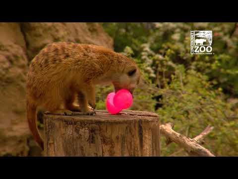 Animals Receive Easter Themed Enrichment - Cincinnati Zoo