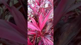 Dracena roxa