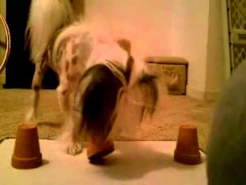 Loki's Champion Trick Dog (TDCH) Video