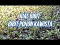 Jual Bibit POHON KAWISTA