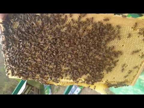 Расплод в апреле, пчела Бакфаст.