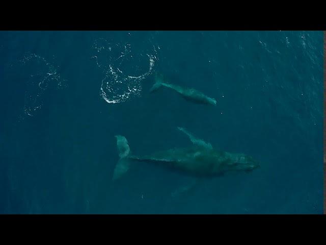 Couple mère baleine-baleineau au large de Cap Lahoussaye