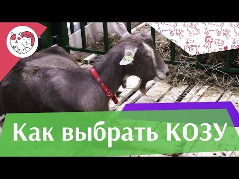 4 правила выбора козы на ilikepet