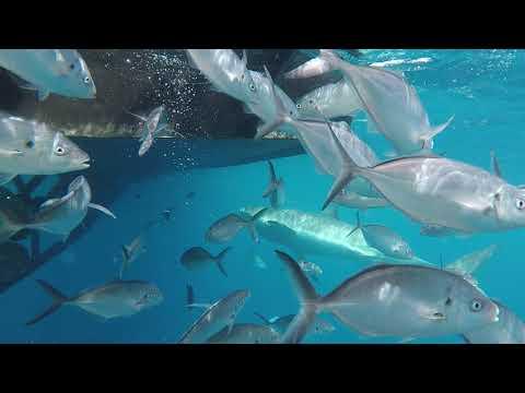 (clip 2) Great white cage diving calypso star 29/12/17. Neptune Island off Port Lincoln. S/Australia
