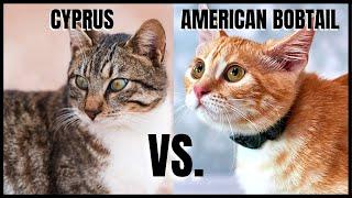 Cyprus Cat VS. American Bobtail Cat