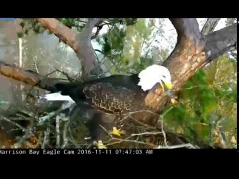 Harrison Bay Eagles TN. 11.11.16 Elliott & Eliza have decided to start working on nest