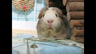 Cleaning Guinea Pig Cages: 11 Piggies, 6 Cages
