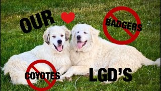 The Life of Bella and Dakota  OUR GREAT PYRENEES DOGS